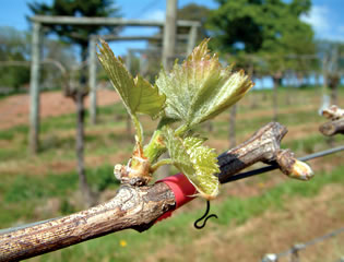 Vines in bud